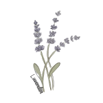 Water colour painting of three lavender stems with small purple flowers and green stems on a transparent background