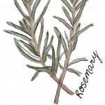 Water colour painting of the rosemary plant with green leaves on a transparent background