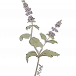 Water colour painting of the mint plant with small purple blooms and green leaves on a transparent background